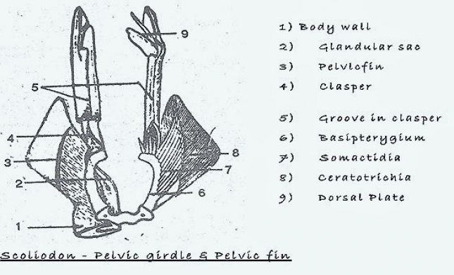 COMPARATIVE ANATOMY: PELVIC GIRDLE OF FROG AND SHARK