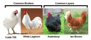 POULTRY FARMING: LAYERS AND BROILERS