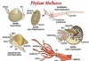 CHARACTERS AND CLASSIFICATION OF PHYLUM MOLLUSCA