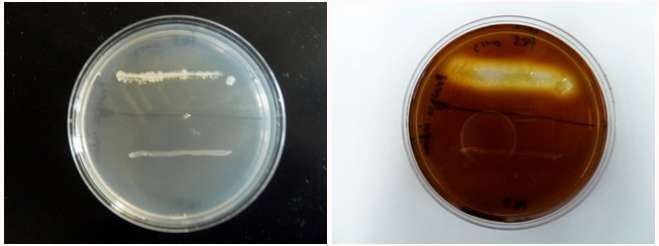 Figure: Two species are inoculated onto a starch plate and incubated at 30°C until growth is seen (plate on the left). The petri dish is then flooded with an iodine solution and photograph taken after 10 minutes (plate on right). Amylase positiv species shows a clearing halo around the growth (top line of growth). Amylase negative species does not have this clear halo (bottom line of growth).