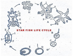 REPRODUCTIVE SYSTEM IN STAR FISH