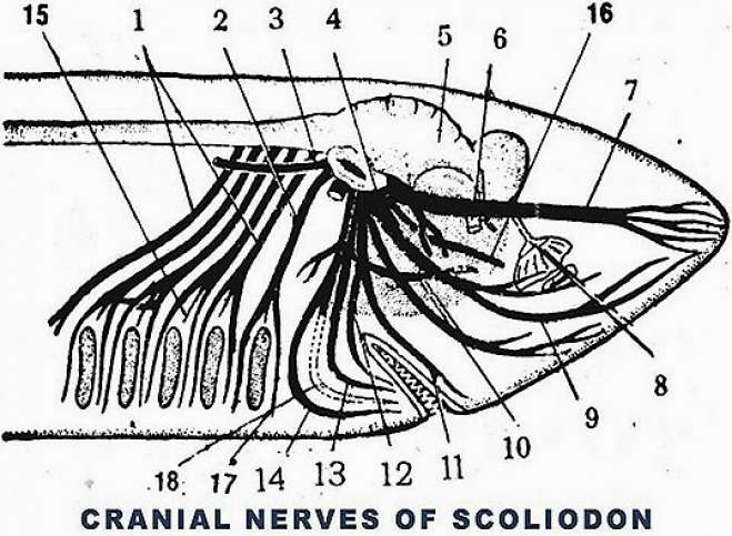 CRANIAL NERVES OF SCOLIODON: 1. BRANCHIALIS X 3. LATERALIS X 4. BUCCALIS VII 5. CEREBELLUM 6. OPTIC III 7. OPHTHALMICUS SUPERFICIALIS V& VII 8.OLFACTORY LOBE 9.BUCCALIS VII 10. PALATINUS VII 11.MAXILLARIS INFERIOR V 12.MANDIBULARS V 13. MANDIBULARS EXTERNUS VIII 14. HYOMANDIBULARIS VII 15. PHARYNGEAL 16. OPHTHALMICUS PROFUNDUS V 17. POST TREMATIC PRETREMATIC IX IX  18. MANDIBULARS INTERNUS VII