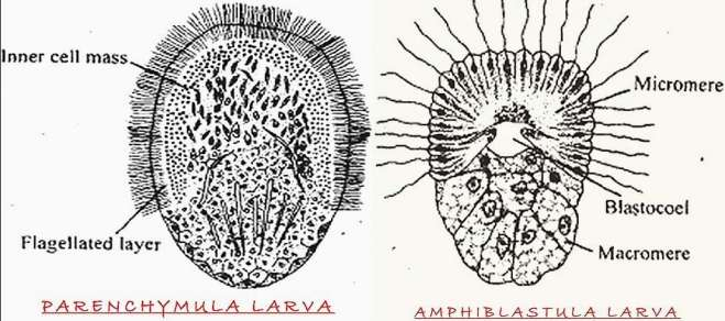 PARENCHYMA AND AMPHIBLASTULA LARVA