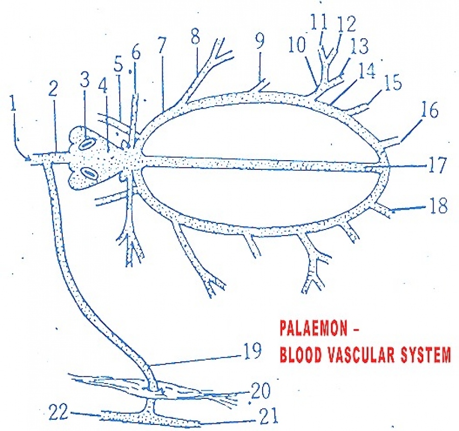 PALAEMON (PRAWN) BLOOD VASCULAR SYSTEM