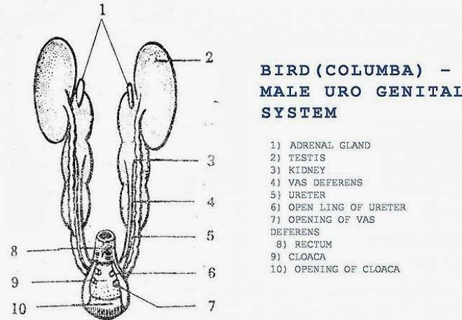 COMPARISION: Male Reproductive System of Bird, Rabbit and Reptile