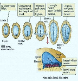 GASTRULATION IN CHICK-II - FORMATION OF ENDODERM