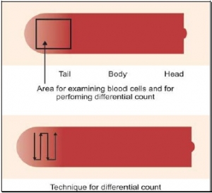 Area for examination of blood cells and for differential cell count in blood smear