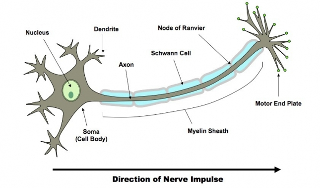 PRODUCTION, TRANSMISSION AND PROPAGATION OF NERVE IMPULSE