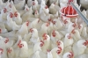 TERMINOLOGIES COMMONLY USED IN POULTRY FARMING