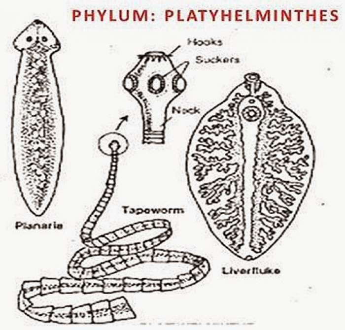 examples of platyhelminthes phylum