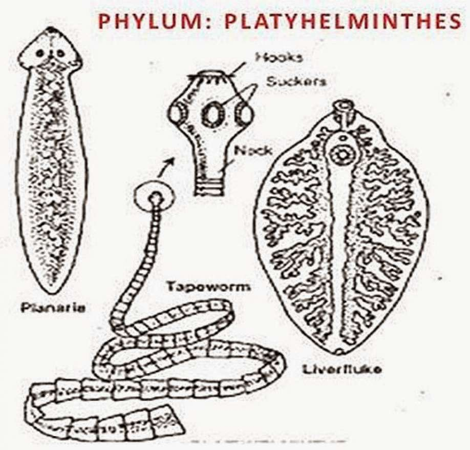 CHARACTERISTICS OF PHYLUM PLATYHELMINTHES