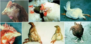 DISEASES IN POULTRY