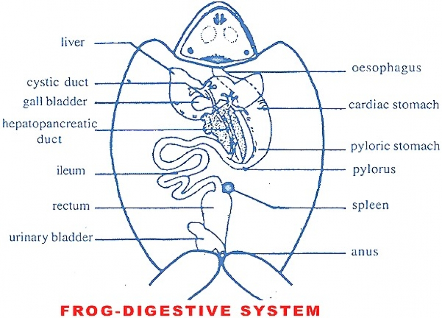 Anatomy rabbit and frog digestive systems comparative anatomy rabbit and frog digestive systems ccuart Images