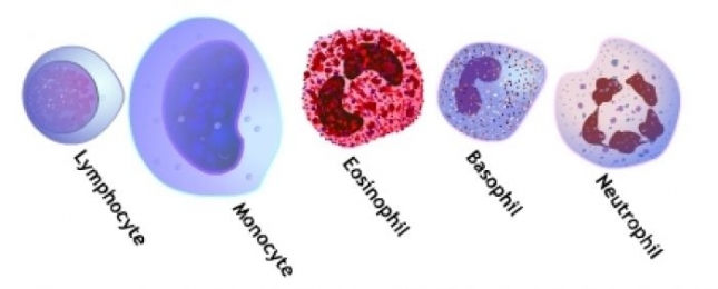 DIFFERENTIAL LEUKOCYTE COUNT (MANUAL METHOD)