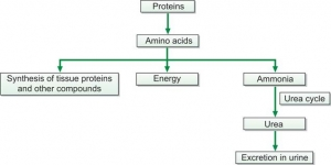 Formation of urea from protein breakdown