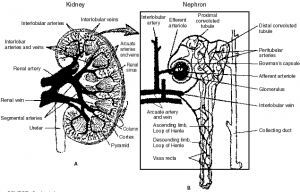 HUMAN KIDNEY AND NEPHRON