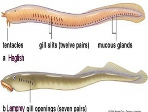 DIFFERENCES BETWEEN PETROMYZON (LAMPREY) AND MYXINE (HAGFISH)