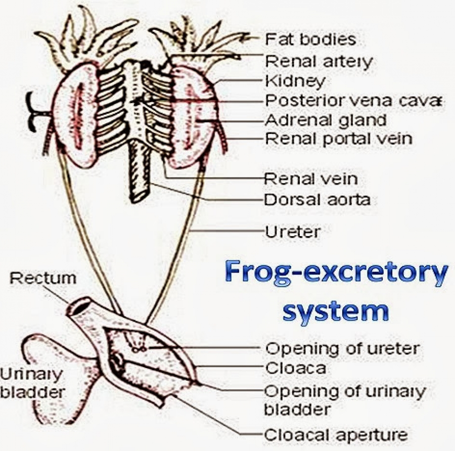 COMPARATIVE ANATOMY: EXCRETORY SYSTEM OF FROG AND FISH