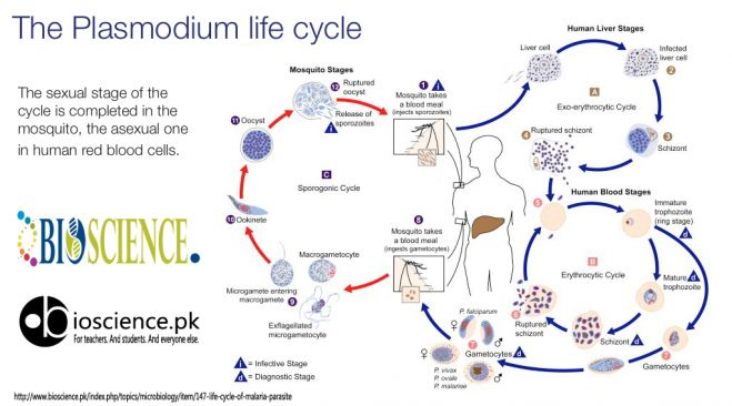 The Plasmodium Life Cycle