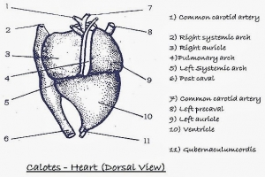 Comparative anatomy heart structure of reptile bird and mammal f9adbb275ff31ab154bc7deaace15fcfgenericg ccuart Images