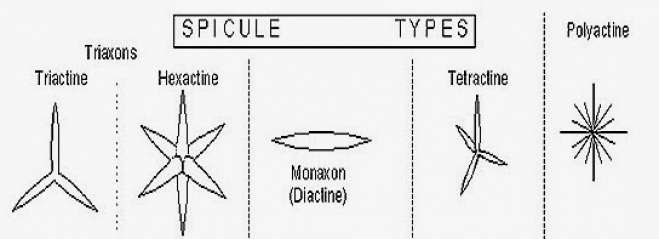 TYPES OF SPICULES