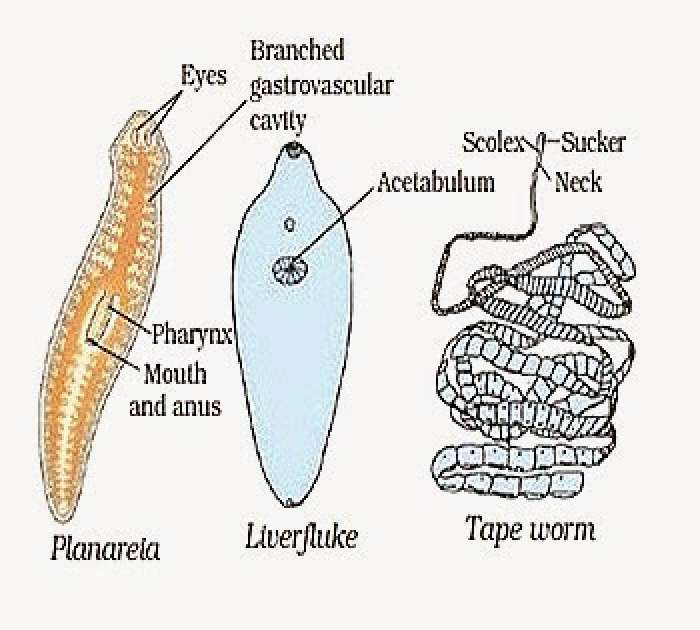 CLASSIFICATION PHYLUM PLATYHELMINTHES